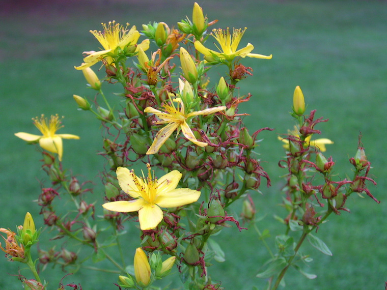 Blütenstand von Hypericum perforatum; Foto: Superior National Forest
